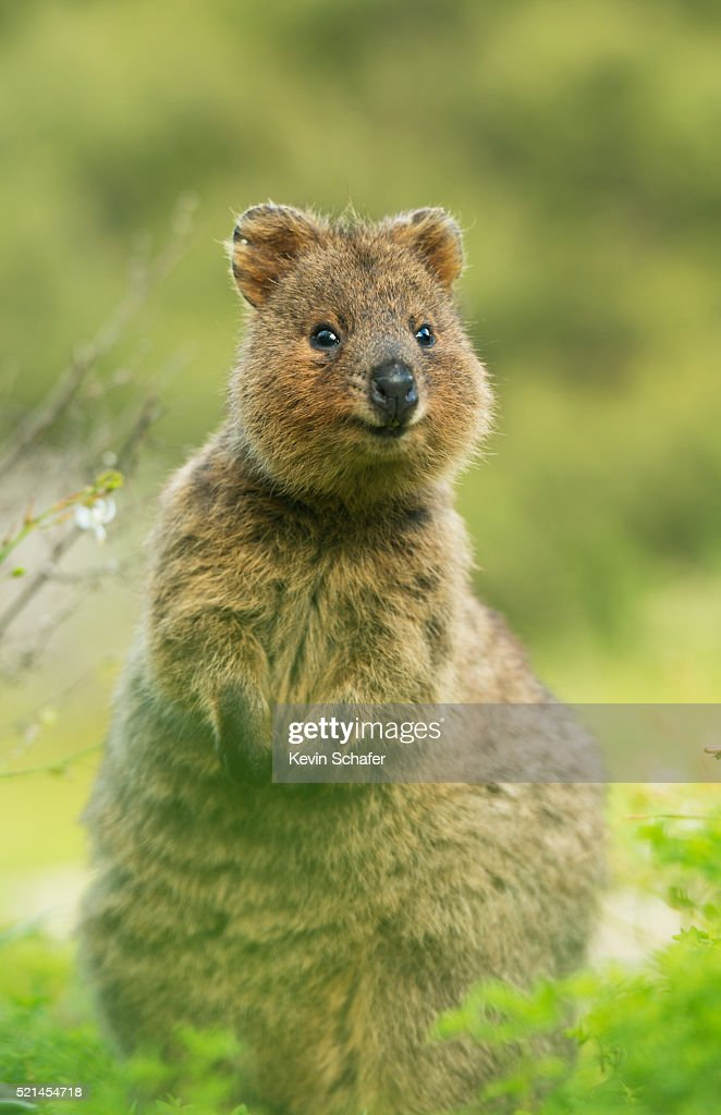 """Hey, girl"" quokka"