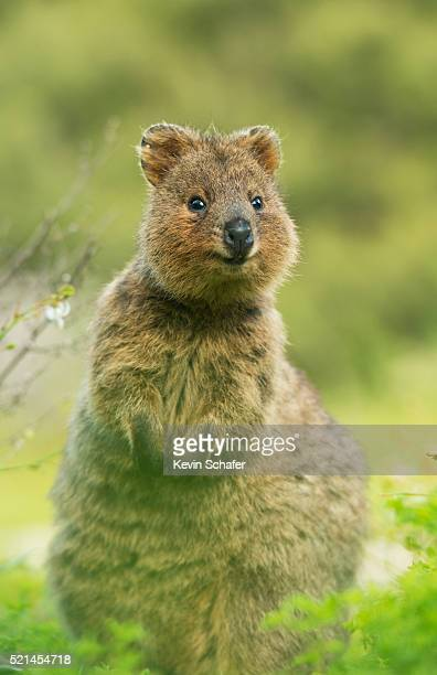 Quokka (Setonix brachyurus) Rottnest Island, Perth, Western Australia