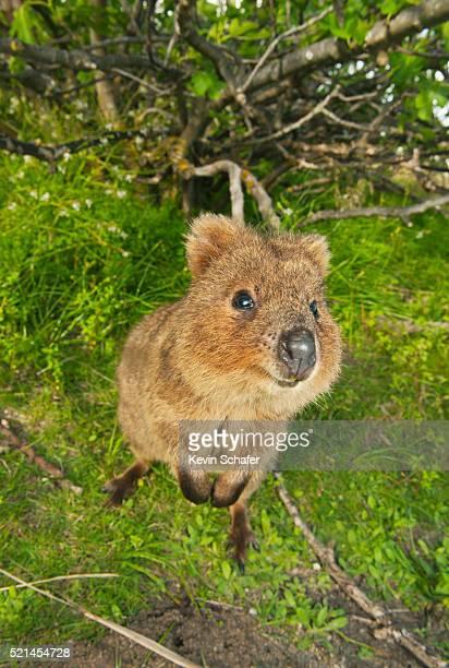 quokka (setonix brachyurus) rottnest island, perth, western australia - quokka photos et images de collection
