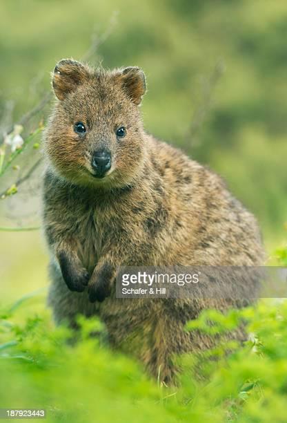 quokka, rottnest island, western australia - quokka photos et images de collection