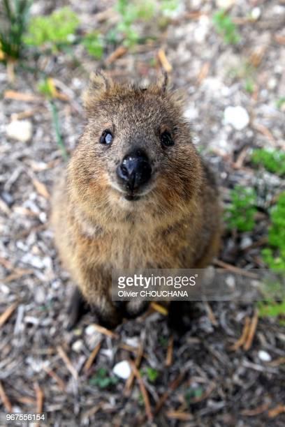 Quokka sur l'ile de Rottnest a cote de Perth le 16 novembre 2015, Australie. Le quokka est un petit marsupial de la famille des macropodidés, la meme...