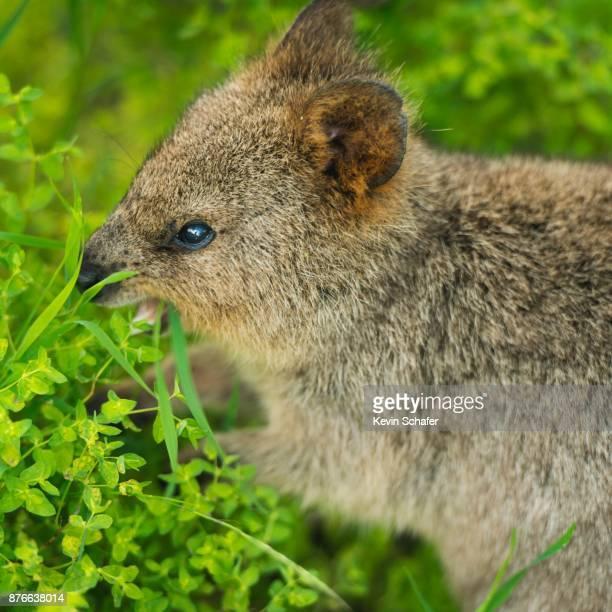 Quokka, wild marsupial, feeding, Western Australia