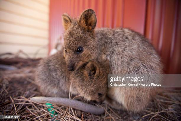 quokkas (setonix brachyurus) on rottnest island, perth, western australia, australia - quokka photos et images de collection