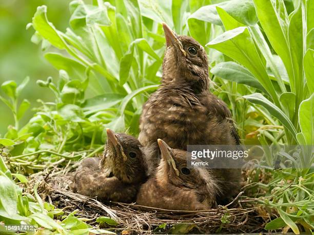 """""""The fly"""" - blackbird babies observe an insect"""