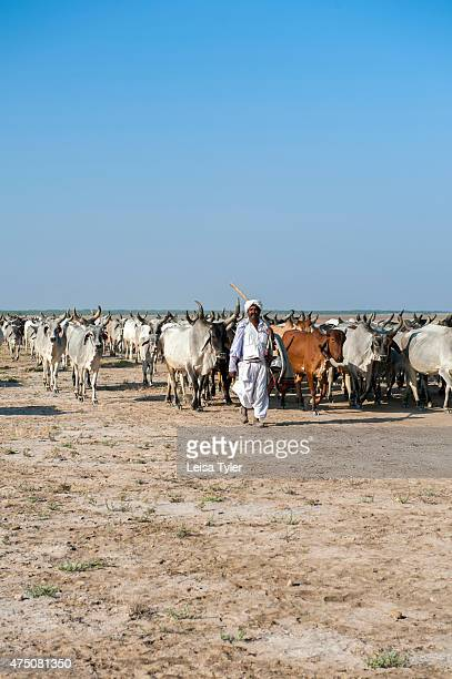 Rabari cattle herders in the Little Rann of Kutch The Rabari are pastrolists who graze their cattle on government owned lands in Kutch They are also...