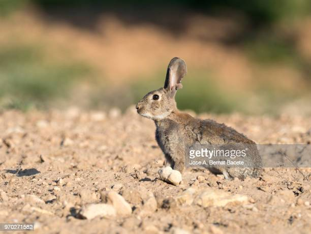 Rabbit adult going out of his burrow, considered as plague. ( Species Oryctolagus cuniculus.)