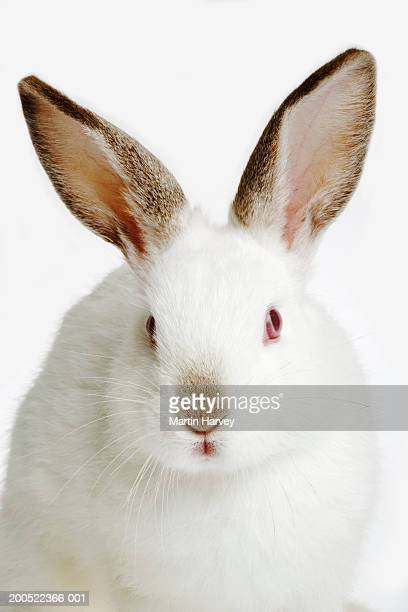 rabbit against white background, close-up - one animal stock pictures, royalty-free photos & images
