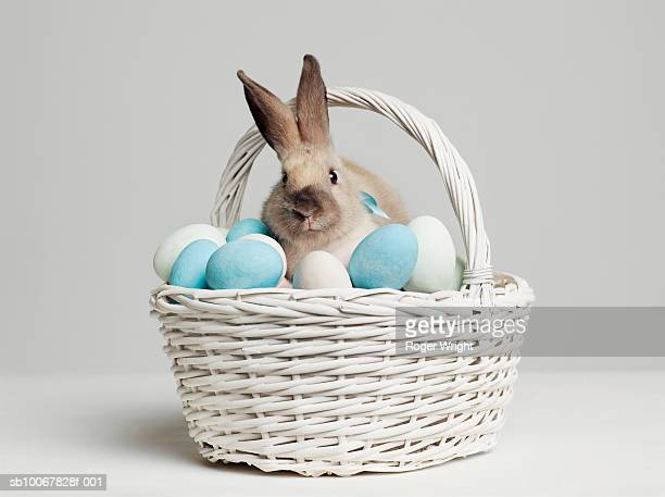 Rabbit amongst coloured eggs in basket, studio shot