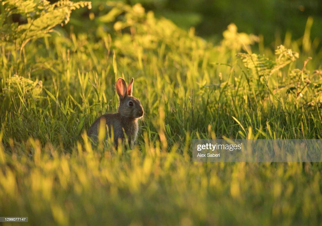A rabbit at sunset. : Stock Photo