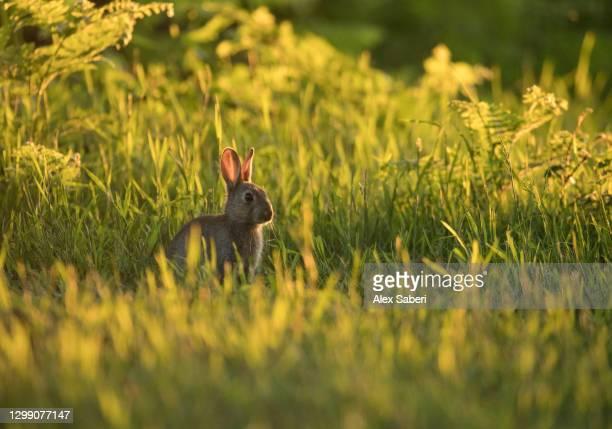 a rabbit at sunset. - alex saberi bildbanksfoton och bilder