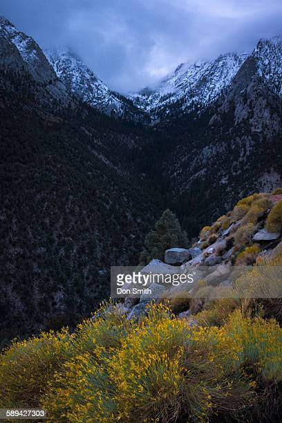 Rabbit brush and first snow