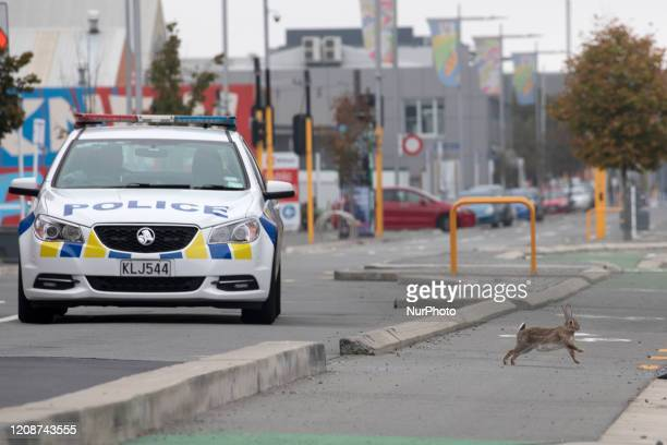 A rabbit crosses a main road which is empty of traffic as a police car is seen in the background as it patrols the area in Christchurch New Zealand...