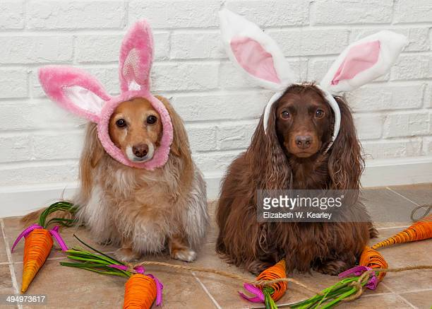 rabbit dogs - long haired dachshund stock photos and pictures