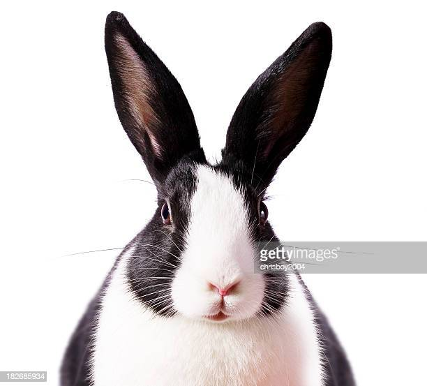 Eared Rabbit