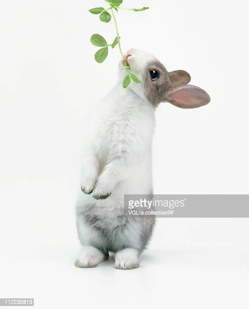 a rabbit eating leaves - one animal stock pictures, royalty-free photos & images