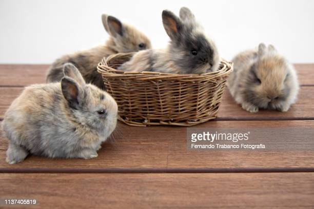 rabbit family - lagomorphs stock pictures, royalty-free photos & images