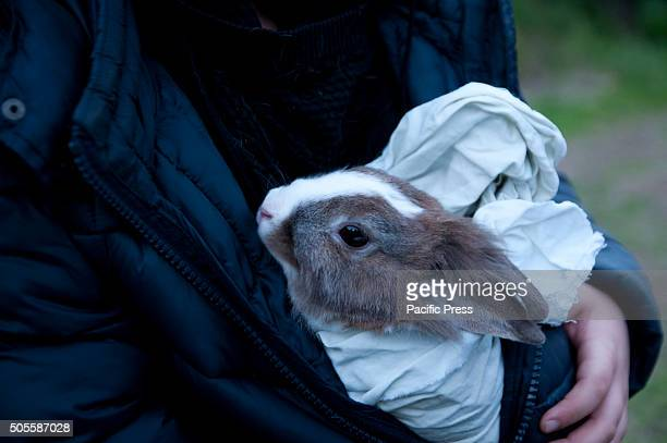 AVERNO POZZUOLI NAPOLI ITALY A rabbit hides inside the jacket during the celebrations for the feast of Saint Anthony It is a centuriesold tradition...