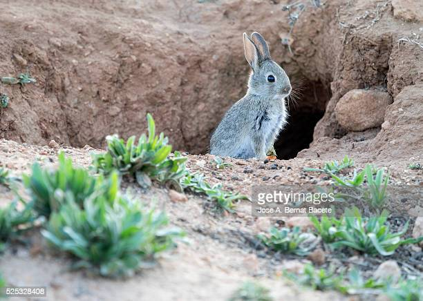 Rabbit hole. A wild rabbit next to its burrow. ( Species Oryctolagus cuniculus.)