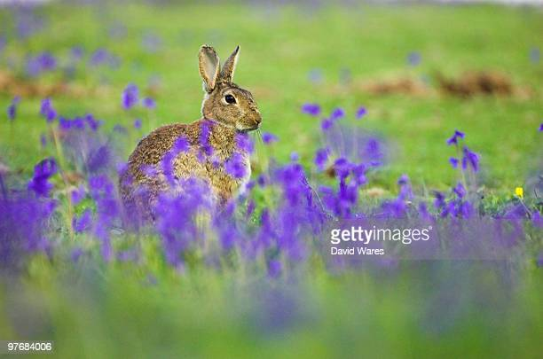 Rabbit in bluebells