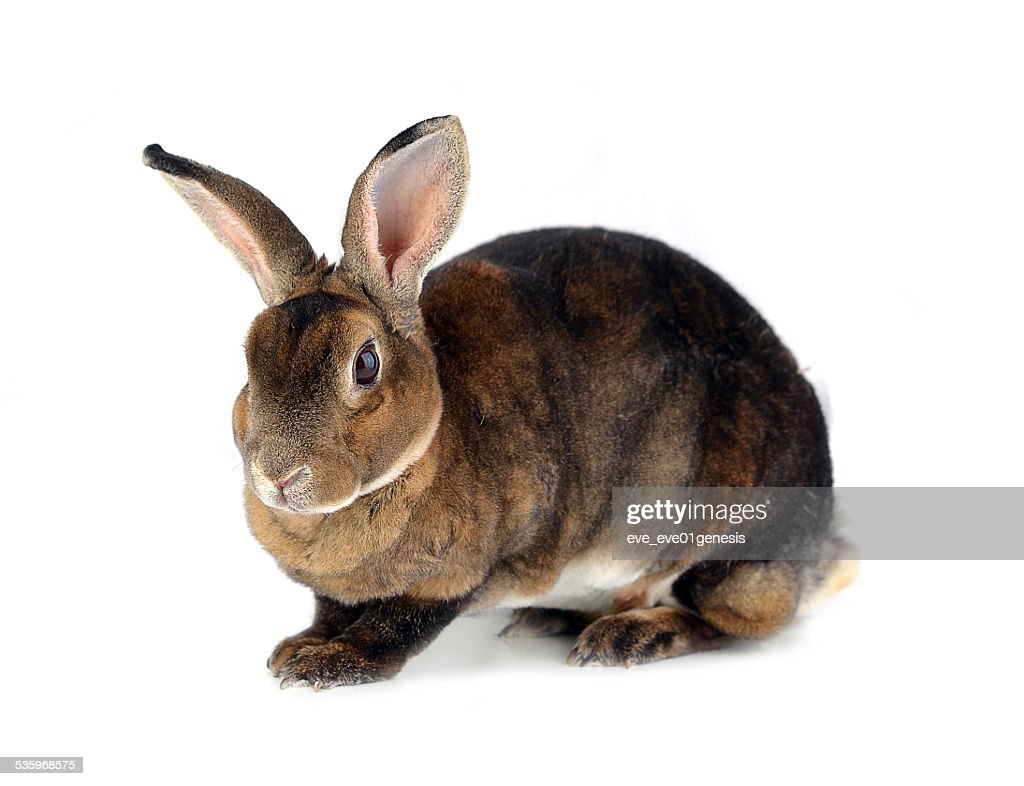 Rabbit isolated on white background : Stock Photo