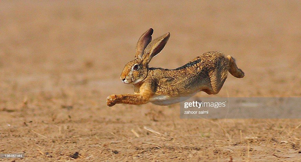 Rabbit jumping in field : Stock Photo