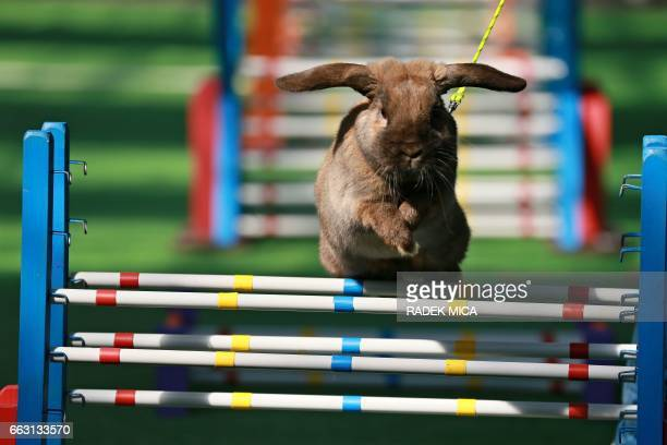 A rabbit jumps over an obstacle during a rabbit track and field competition on the sidelines of a hunting exhibition in Kromeriz about 60 km east of...