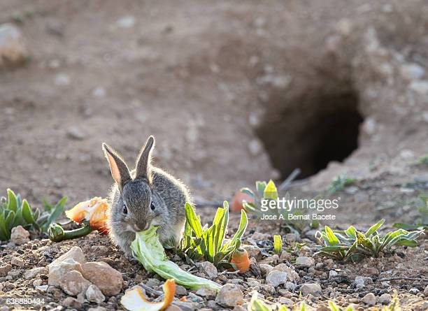 Rabbit juvenile eating in the field illuminated by the light of the Sun. ( Species Oryctolagus cuniculus.)