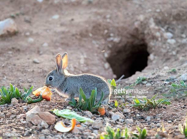 Rabbit nde field eating near his burrow ( Species Oryctolagus cuniculus.)
