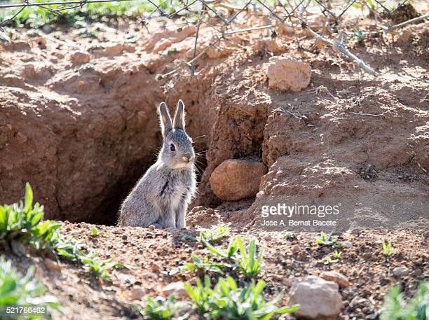 Rabbit of field sat together with his burrow. ( Species Oryctolagus cuniculus.)