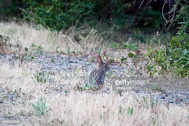 rabbit of tilden regional park - east bay regional park stock pictures, royalty-free photos & images
