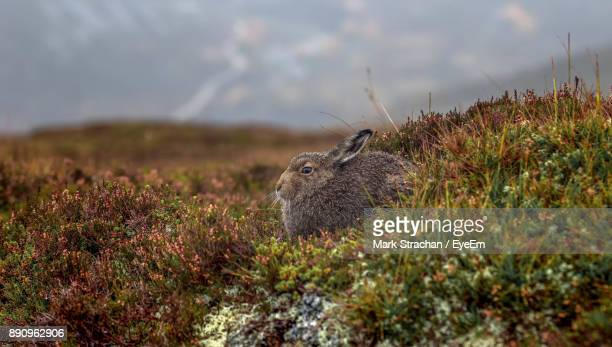 Rabbit On Field