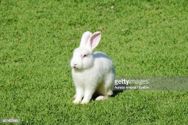 rabbit on field - white rabbit stock pictures, royalty-free photos & images
