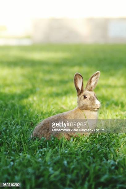 rabbit on grassy field - ziaur rahman stock pictures, royalty-free photos & images