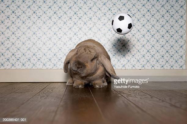 Rabbit on hardwood floor, soccer ball in air