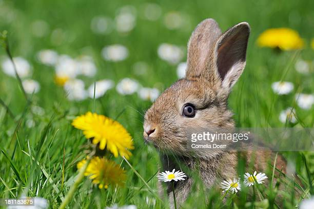 Rabbit on spring meadow