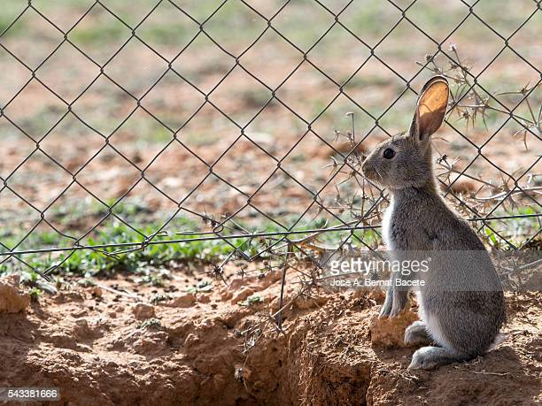 Rabbit on two legs with a metal fence. Family of rabbits close to his burrow. ( Species Oryctolagus cuniculus.)
