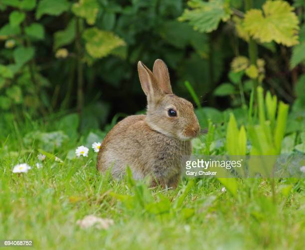 rabbit [oryctolagus cuniculus] - rabbit stock pictures, royalty-free photos & images