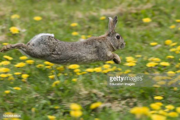 Rabbit Oryctolagus cuniculus running through field of dandelions in Norfolk summer