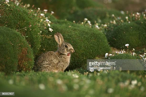rabbit oryctolagus cuniculus yawning at burrow entrance skomer island, wales, uk