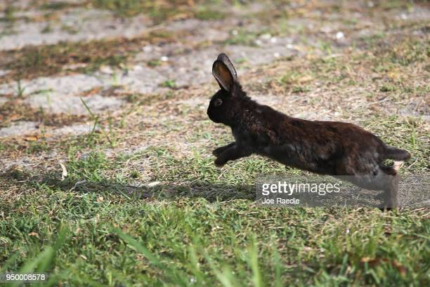 A rabbit part of a large gang that numbers over one hundred is seen near Pioneer Canal Park on April 22 2018 in Boynton Beach Florida The bunnies are...