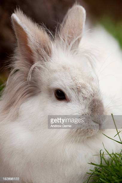 rabbit - andrew dernie stock pictures, royalty-free photos & images