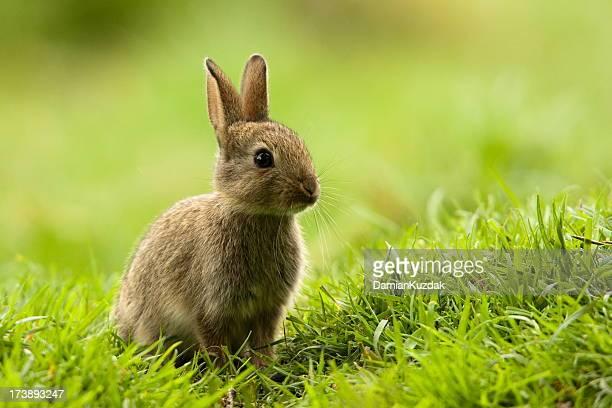coniglio, oryctolagus cuniculus) - coniglietto foto e immagini stock