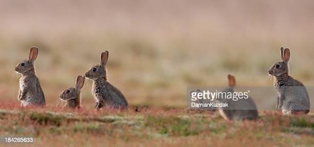 conejo (oryctolagus cuniculus) - fauna silvestre fotografías e imágenes de stock