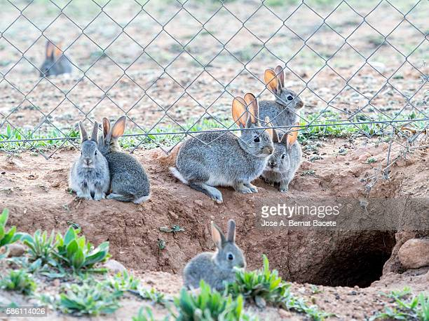 Rabbit plague with his burrow on protected by a metal fence field, ( Species Oryctolagus cuniculus.)