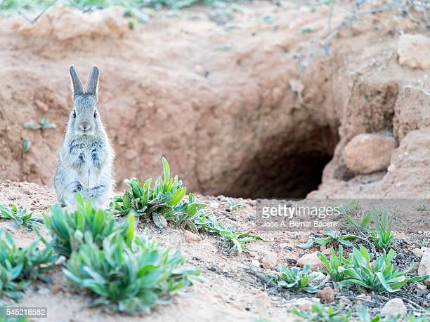 Rabbit raised on two legs next to his burrow. ( Species Oryctolagus cuniculus.)