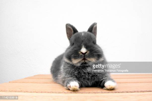 rabbit resting - lagomorphs stock pictures, royalty-free photos & images