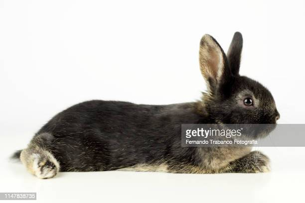 rabbit resting - domestic animals stock photos and pictures
