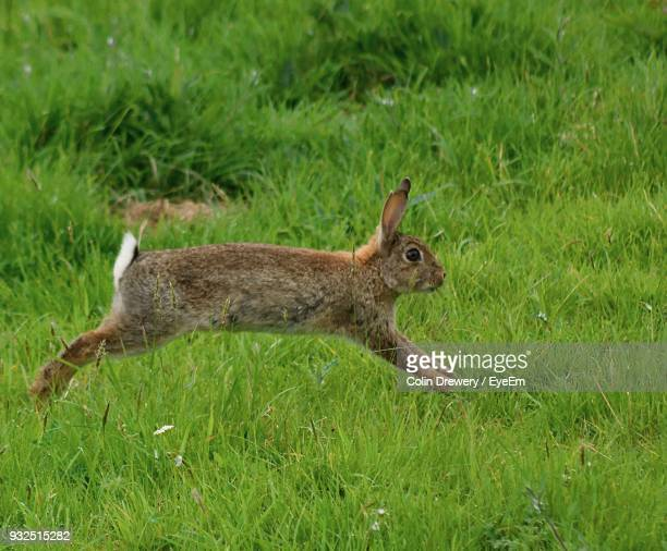 rabbit running on grassy field - lagomorphs stock pictures, royalty-free photos & images