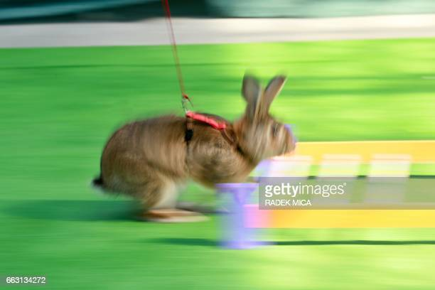 A rabbit runs during a rabbit track and field competition on the sidelines of a hunting exhibition in Kromeriz about 60 km east of Prague on April 1...