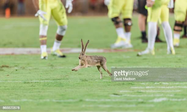 A rabbit runs on the field during an NCAA Pac12 football game between the Stanford Cardinal and the University of Oregon Ducks on October 14 2017 at...